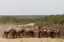 Стадо коров в Кении Фото: Karel Prinsloo / AP