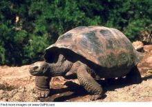 Гигантская галапагосская черепаха. Фото: gdpit.com