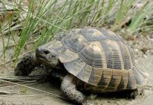 Средиземноморская наземная черепаха (Testudo graeca). Фото: thestival.gr