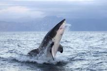 Большая белая акула. Фото: Global Look Press
