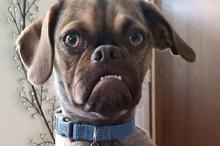 Сердитый Пес. Фото: страница Earl the Grumpy Puppy в Facebook