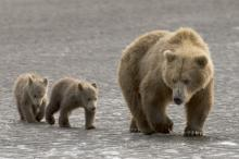 Медведица гризли с медвежатами. Фото: MediaDrumWorld