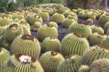 Парк кактусов на Тенерифе. Фото: Александр Чиженок / «Коммерсантъ»