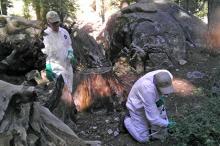 Обработка почвы в национальном парке Йосемити. Фото: California Department of Public Health
