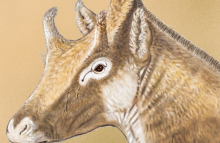 Реконструкция внешнего облика Xenokeryx amidalae