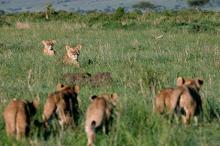 Львы в заповеднике Масаи-Мара. Фото: Radu Sigheti / Reuters