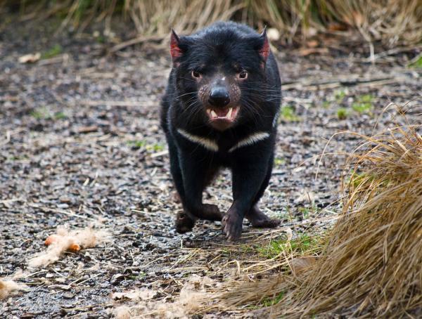 Тасманийский дьявол подхватил новую форму заразного рака