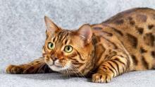 Бенгальская кошка. Фото с сайта pif.dn.ua.