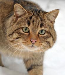 Среднеевропейский лесной кот. Фото: wikimedia.org