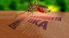 Переносчиками лихорадок Зика, чикунгунья, денге являются комары