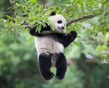 Иллюстрация: детеныш панды