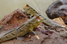 Periophthalmus barbarous. Фото: pvv.org