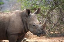 Черный носорог. Фото: Justus de Cuveland / imagebroker / Globallookpress.com