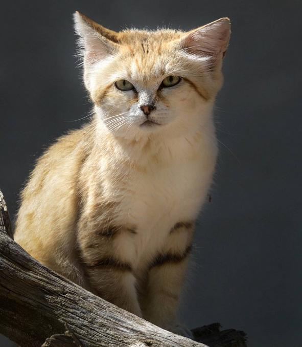 ВОАЭ впервые за10 лет сфотографировали арабского песчаного кота