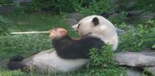 Панда в венском зоопарке. Фото с сайта ourvoyage.info