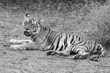 Тигрица Мачли. Фото: bhavik Thaker / flickr