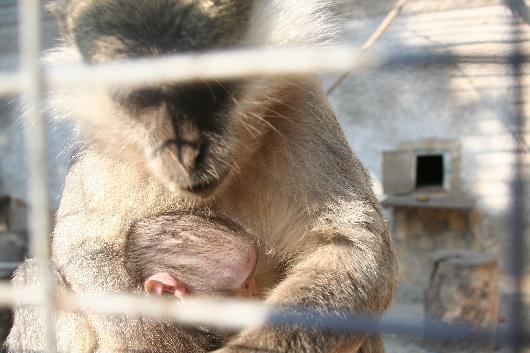 Водесском зоопарке узеленых мартышек впервый раз появилось потомство