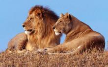 Лев и обычная львица. Фото с сайта veganstvo.info