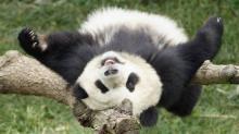 Большая панда. Фото с сайта zverki.org