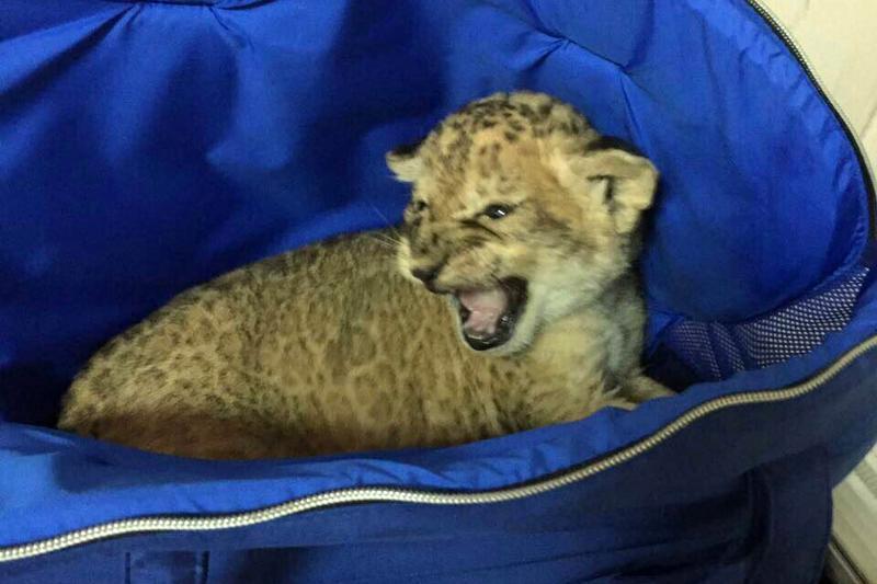ИзУкраины пытались вывезти львенка, спрятанного впопугаях