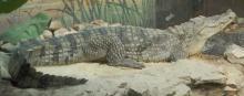 Нильский крокодил. Фото из Википедии