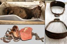 Мумия лошади, седло и стремена, найденные в захоронении