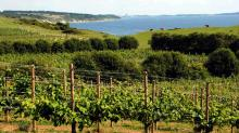 Современный виноградник Dyrehoj Vingaard в Дании. Фото с сайта visitvestsjaelland.dk