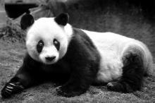 Панда Басы. Фото: Wei Peiquan / Xinhua / Globallookpress.com