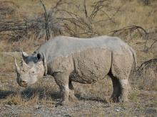 Северный белый носорог (иллюстрация).  iStock. Фото: westcoast01