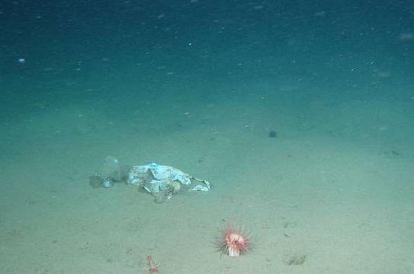Надне Марианской впадины впервый раз отыскали пластиковый пакет