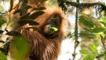 Иллюстрация: Maxime Aliaga/Sumatran Orangutan Conservation Program