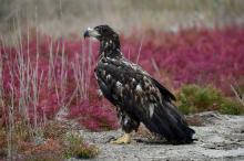 Спасенный орлан-белохвост