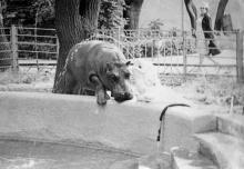 Бегемот Султан, прибывший в Одесский зоопарк из Рижского, осваивает новое место жительства. 1972 г.