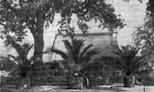 Финиковые пальмы, высаженные в грунт возле пальмовой оранжереи. Фото в «Путеводителе по ботаническому саду Одесского государственного университета». 1956 г.