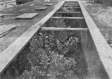 Культура цитрусовых в траншеях. Фото в «Путеводителе по ботаническому саду Одесского государственного университета». 1956 г.